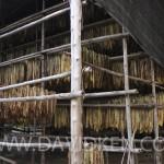 Culture du tabac près de Sukhotai
