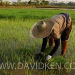 Travail en rizières près de Chiang Rai