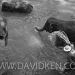 Camp des éléphant près de Chiang Mai, la baignade